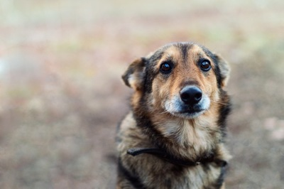 耳を後ろに倒した悲しい表情の犬