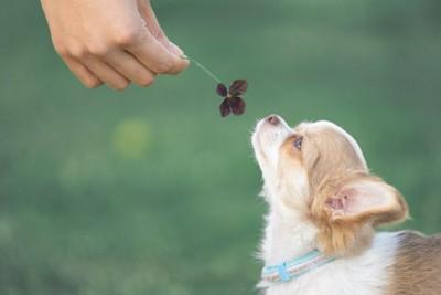四つ葉のクローバーの匂いを嗅ぐチワワ