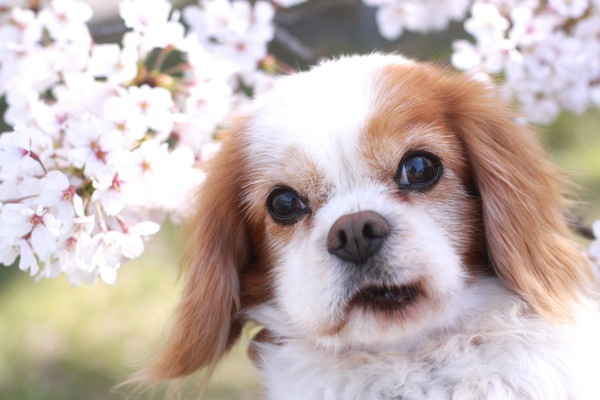 高齢犬と桜