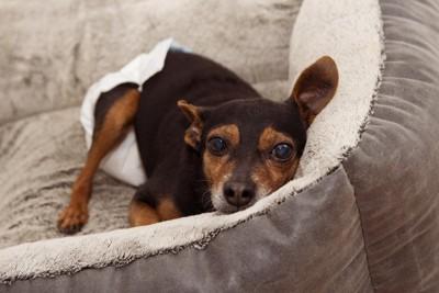 ベッドの中、オムツを穿いている犬