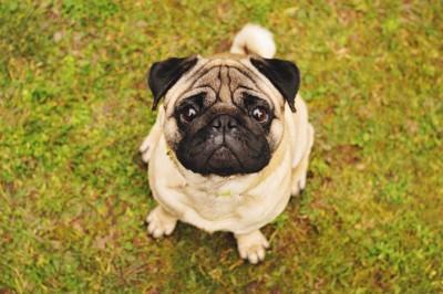 芝生で見つめるパグ