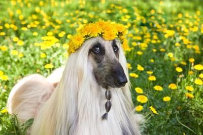 アフガンハウンドと黄色い花