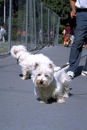 散歩する白い犬