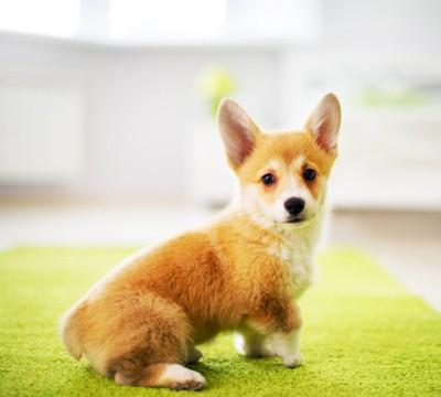 コーギーの子犬のお尻