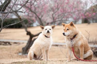 お散歩中の二匹の犬