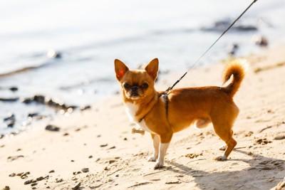 砂浜を散歩するチワワ