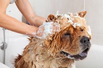シャンプーされる犬