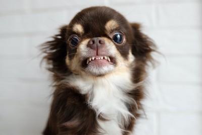 牙を剥いて警戒しているチワワ
