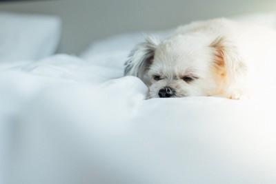 真っ白い布団で眠る長毛の犬