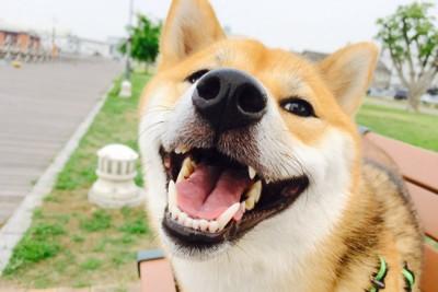 笑顔で寄ってくる柴犬