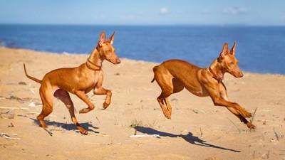 砂浜を走る二匹の茶色い犬