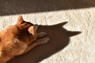 カーペットの上で日向ぼっこする柴犬