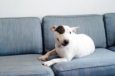ソファーでくつろぐブルテリア