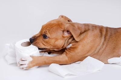 トイレットペーパーを噛む犬