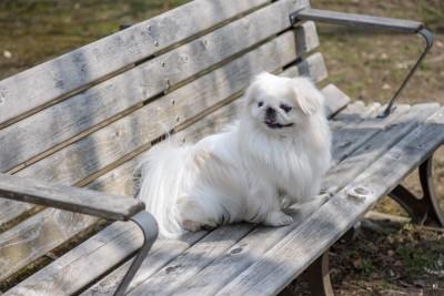 ベンチに座るペキニーズ