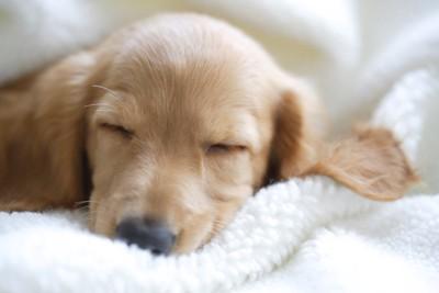 ふかふかのベットで寝ているダックスの子犬