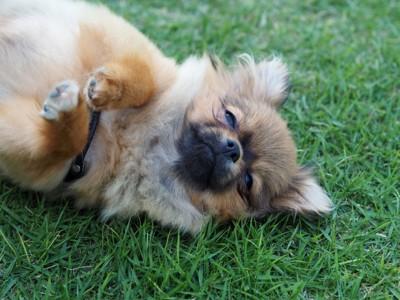 ドッグランで寝転がる犬