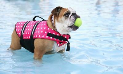 ピンクのライフジャケットを着てボールをくわえたブルドッグ