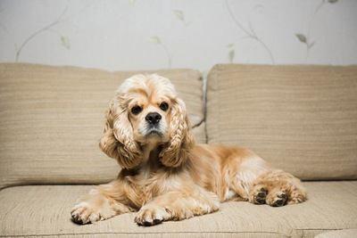 ソファーの上でくつろぐアメリカンコッカースパニエルの幼犬
