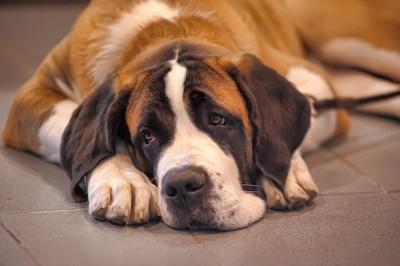 憂鬱な表情で伏せている犬