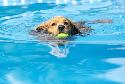 ボールを咥えてプールを泳ぐ犬