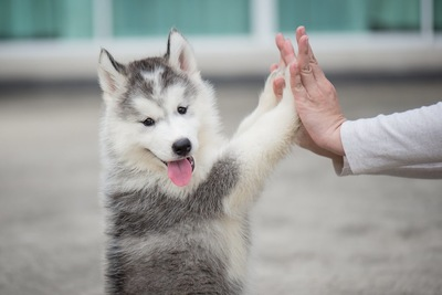 飼い主と両手を合わせるハスキーの子犬