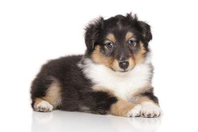 ふせてこちらを見るシェットランドシープドッグの幼犬
