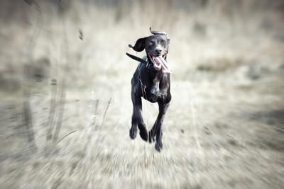 走る黒い犬