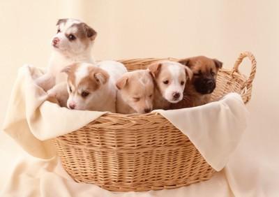 かごの中に入った5匹の子犬たち