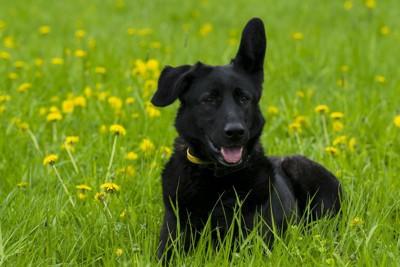 花畑で片耳を立てている黒い犬