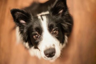見つめる犬の顔のアップ