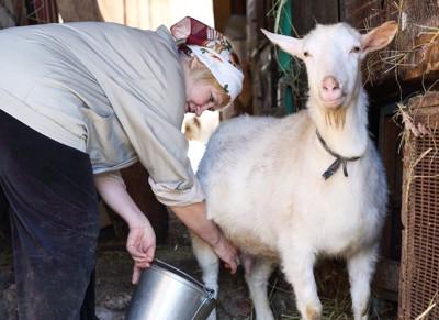 ヤギの乳搾りをする女性