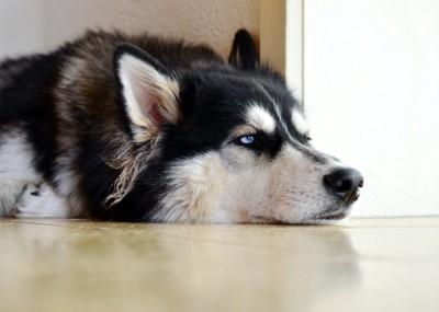 床に伏せてクールな表情をするハスキー犬