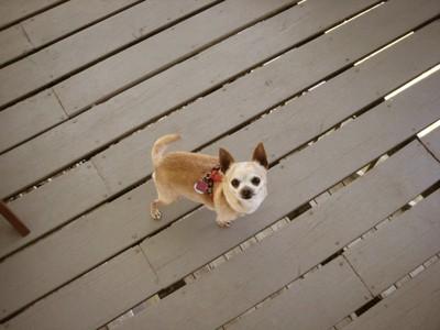 ベランダに立つ犬 237779497