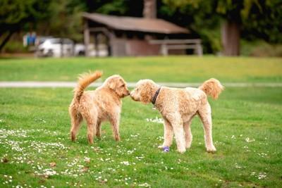 鼻を合わせて挨拶をする二頭の犬
