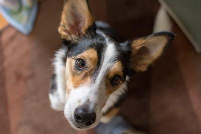 こちらを見上げる犬の顔アップ