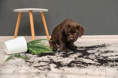 鉢を倒して反省している様子のラブラドールの子犬
