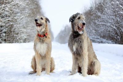 雪の上に座る2匹のアイリッシュウルフハウンド