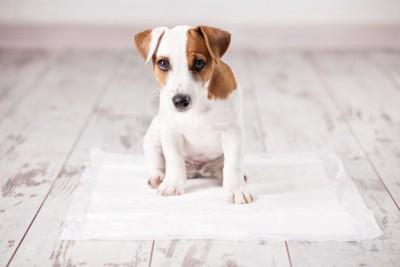 床に置かれたトイレシートの上に座る子犬