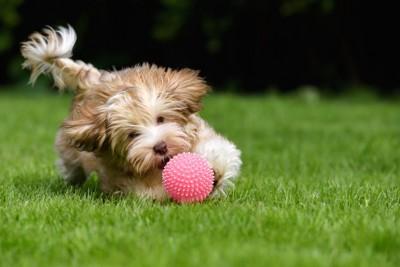 ピンクのボールを追いかける犬