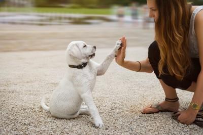 レトリバーの子犬とハイタッチ