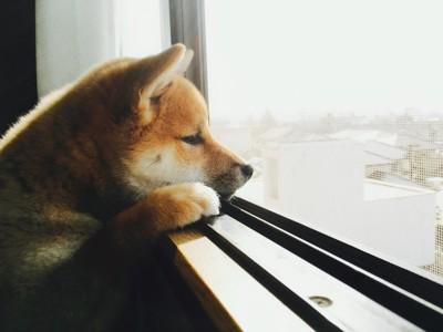 留守番中に窓から外を見る犬