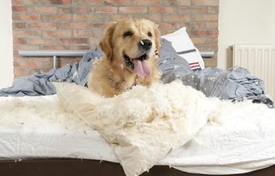 枕を破る犬