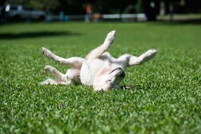 芝生に寝転がる犬