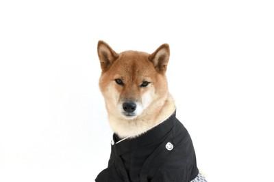 着物を着た柴犬