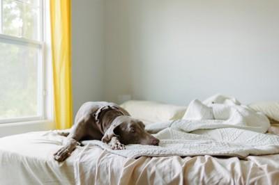 ベッドで寛ぐ、グレーの垂れ耳の犬