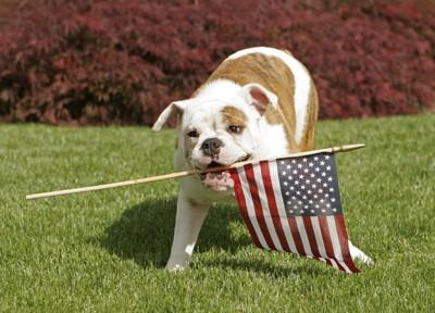 国旗をくわえたアメリカンブルドッグ