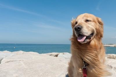 海のそばに座るゴールデンレトリバー