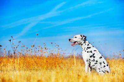 枯れ草の中に座るダルメシアン、青い空