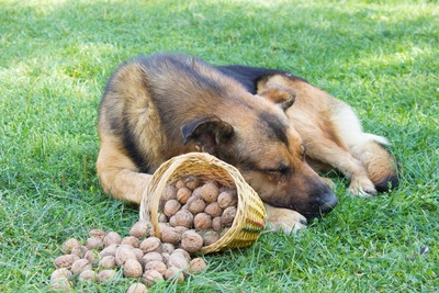 クルミの前で眠る犬
